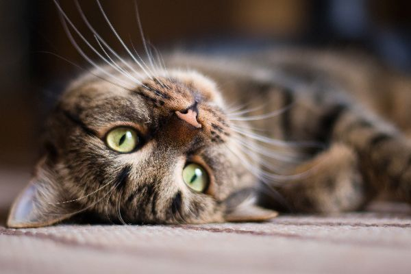 Can You Get Fleas From A Cat About Cat Care Cat Fleas Cat Allergies Cat Care
