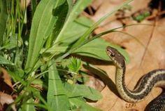 gartner snake in garden