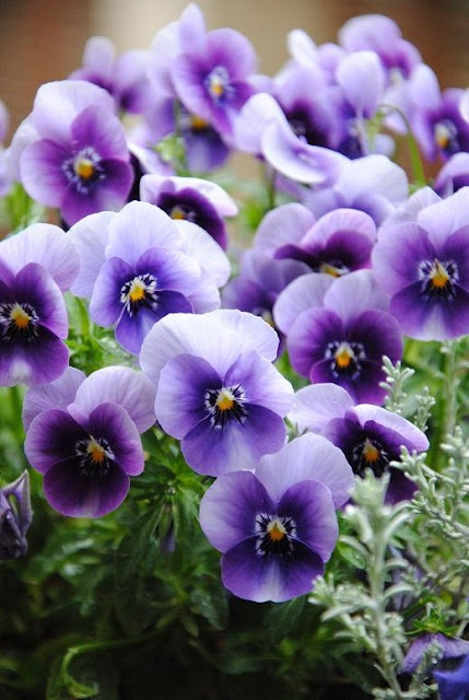 "purple pansy...""You occupy my thoughts"""