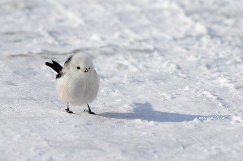 画像 : 雪の妖精!可愛すぎる鳥「シマエナガ」 - NAVER まとめ