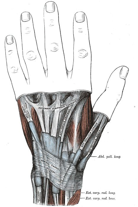 36 best Hand and Wrist images on Pinterest | Anatomy, Anatomy ...
