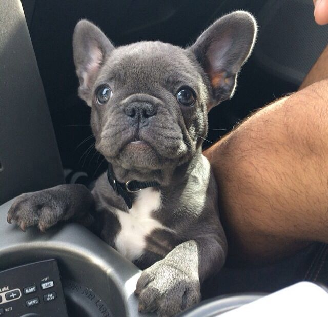 French Bulldog Playful And Smart Blue French Bulldog Puppies French Bulldog Puppies Bulldog Puppies