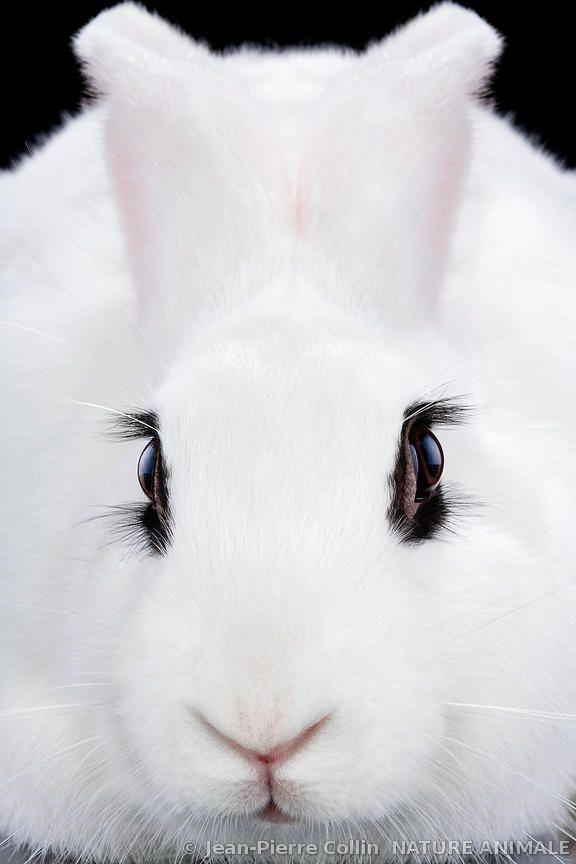 Flemish Giant Rabbit                                                                                                                                                     More