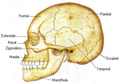 Esqueleto axial - Esqueleto apendicular - Juntas e articulações - Ligamentos Classificação dos ossos - Esqueleto: diferenças entre os sexos