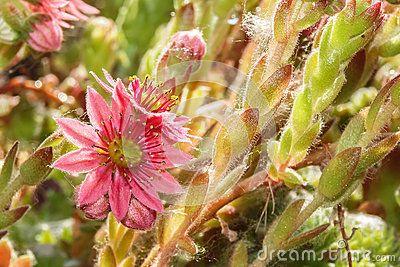 Sempervivum with pink flowers in garden.