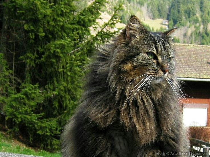 Cat in Wengen, Switzerland. Photo by Arto Sakari Korpinen.