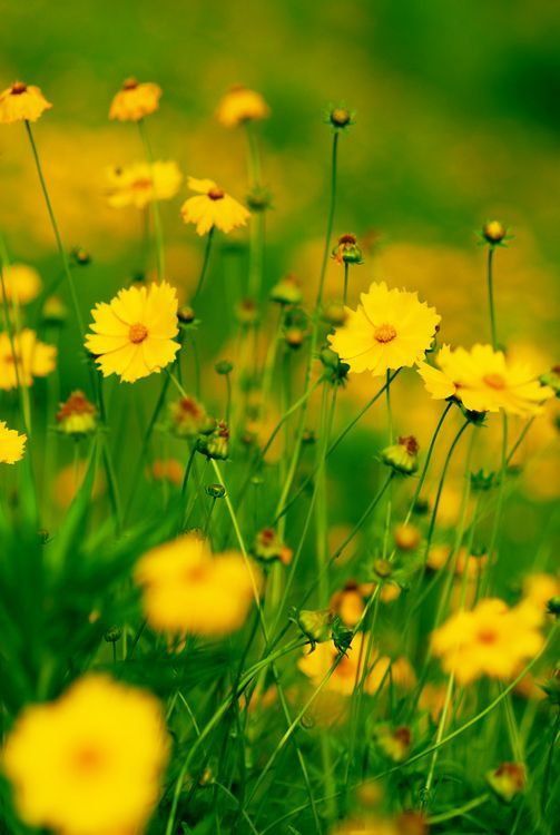 Blue Cosmos Flowers | Yellow cosmos flower pictures | Trees and Flowers Pictures