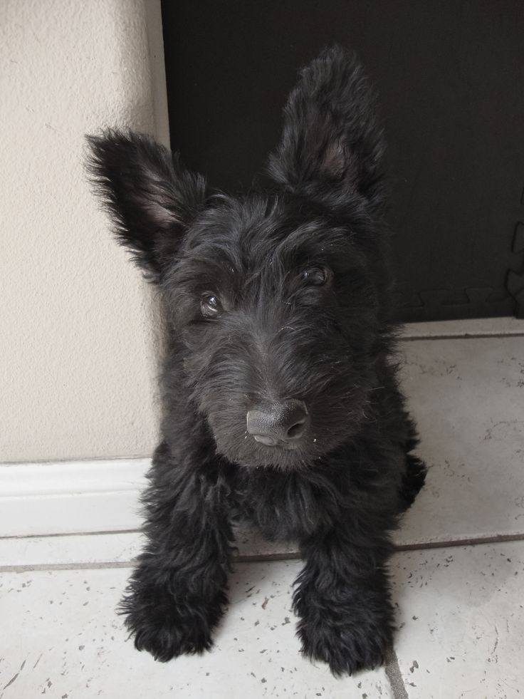 Wallace the Scottish Terrier at 3 Months!