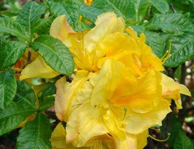azalea yellow cloud