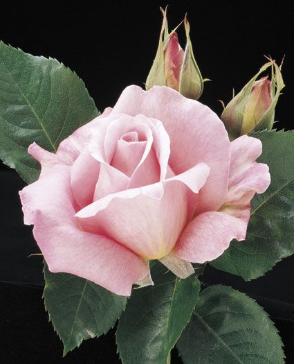 JP: Tiffany - Phlox Pink Yellow Base Large Hybrid Tea Roses