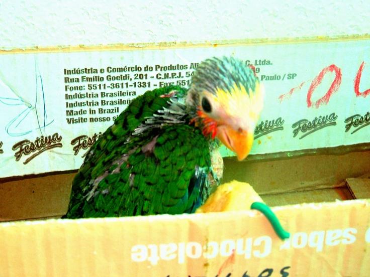 A baby parrot in Cuba. So cute!