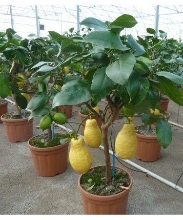CITRONNIER 4 SAISONS /  Citrus limon