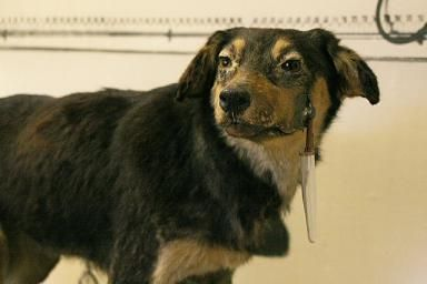 How Classical Conditioning Works: An Overview With Examples: One of the dogs used in Pavlov's famous experiments.