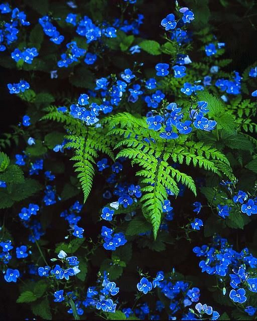 Blue veronica with ferns