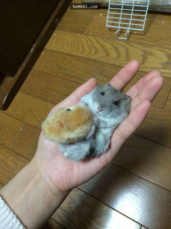 近年來倉鼠在日本已經引起一股風潮,體積嬌小玲瓏加上呆萌的模樣,實在讓人很想對著牠們大喊「卡哇伊」!像是倉鼠常常把糧食藏在兩頰裡鼓鼓的吃貨樣子就非常討喜,烏溜溜的大眼睛還經常一副無辜的神情,不知已經融化了多少顆的少女心。