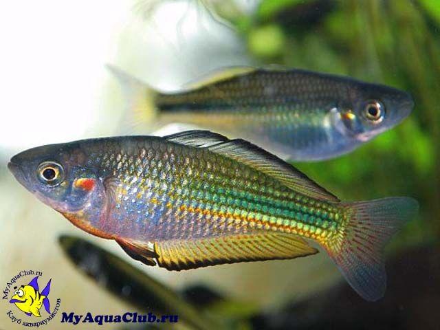 323 best images about fish melanotaeniidae rainbowfish for Freshwater rainbow fish
