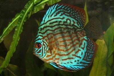 Symphysodon aequifasciatus Brilliant Turquoise / Discus