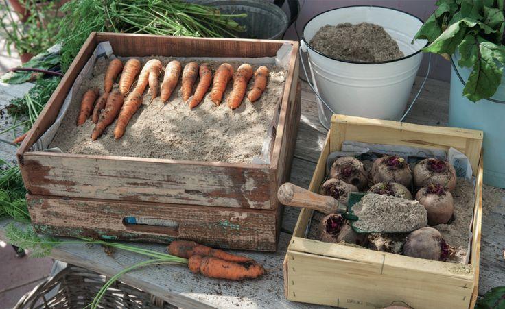 Möhren und Rote Bete zählen zu den Gemüsearten, die sich eingebettet in Sand problemlos für viele Wochen einlagern lassen, vorausgesetzt sie sind bei der Ernte voll ausgereift
