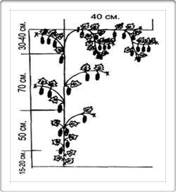 Агротехника выращивания рассады огурцов. Формирование растений. Таблица подкормки огурца. Подвязка растений. Оптимальная температура