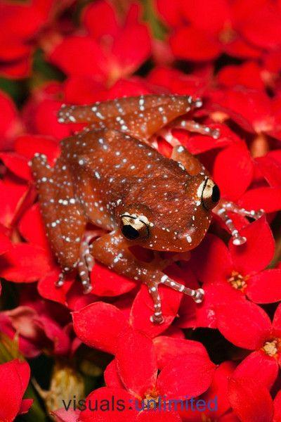 Cinnamon Tree Frog