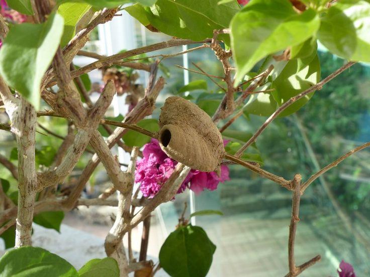 http://faaxaal.forumgratuit.ca/t2474-photos-de-nid-d-hymenopteres-nids-de-guepes-nids-d-abeilles#5524
