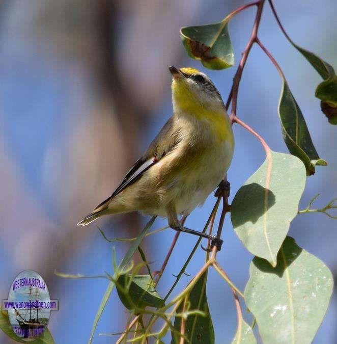 Striated pardalote - BIRDS OF WESTERN AUSTRALIA | Western Australia | www.wanowandthen.com