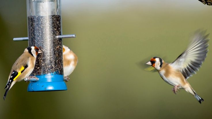 Goldfinches feeding from a garden feeder. RSPB,  what food to provide.