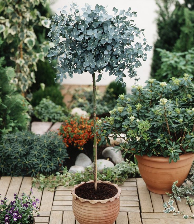 Eukalyptus-Bäumchen  Das immergrüne Laub versprüht einen angenehmen Duft, der lästige Fliegen vertreibt. Das dekorative Ziergehölz eignet sich sehr schön zur Kübelpflanzung. Das Eukalyptus-Bäumchen blüht von September bis Dezember mit weißen Blüten. Das mehrjährige Ziergehölz bevorzugt einen sonnigen bis halbschattigen Standort und hat einen geringen Wasserbedarf. Im Winter frostfrei halten.