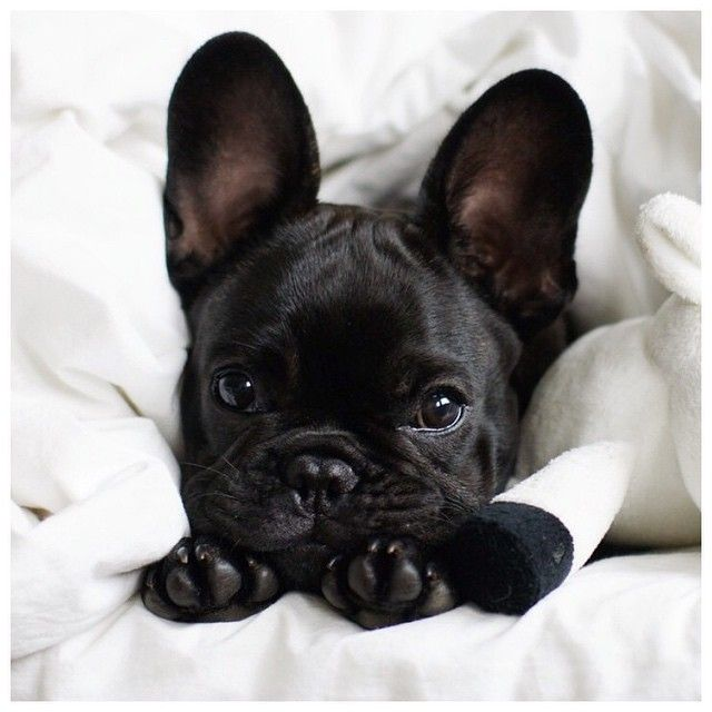 cutest French bulldog 45 Images with Nicoletta Reggio :: This is Glamorous