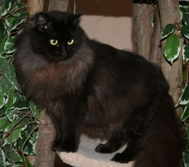Ragamuffin Cats For Sale In Ohio