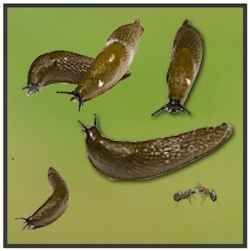How to keep pests out of your garden including cutworms destroying your tomato plants cut a for How to keep slugs out of garden