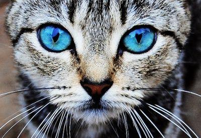 Katze mit blauen Augen - Jappy GB Bilder GB-Pics & Gästebuchbilder