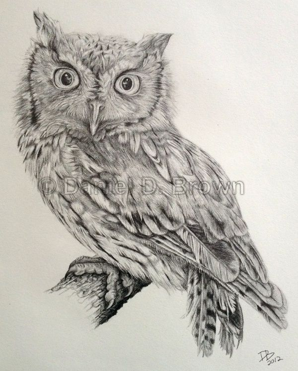 Owl Drawings | Eastern Screech Owl (Megascops asio), Daniel D. Brown, 2012, Pencil