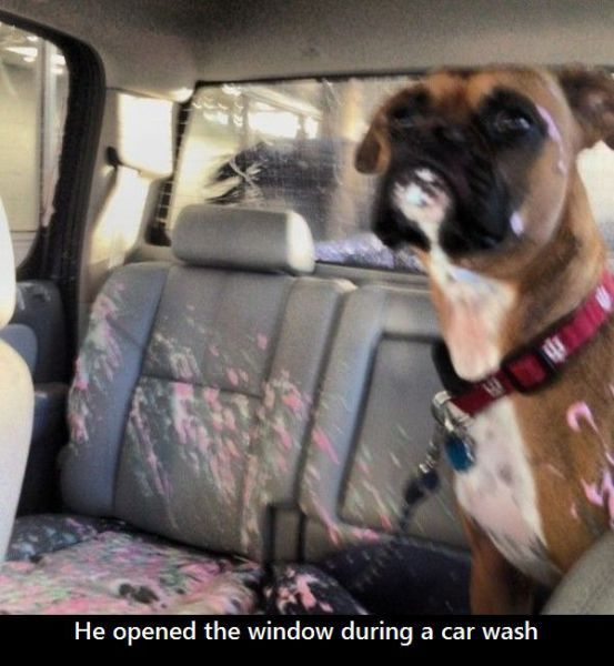 """He opened the window during the car wash."" ~ Dog Shaming shame - Boxer needs child lock activated"