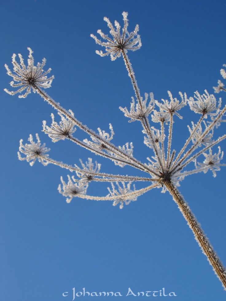 Talven kukka. Something is flowering in the winter, too.