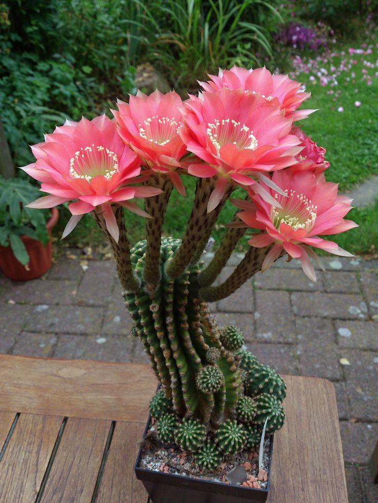 Las 25 mejores ideas sobre flor de cactus en pinterest for El jardin perdido