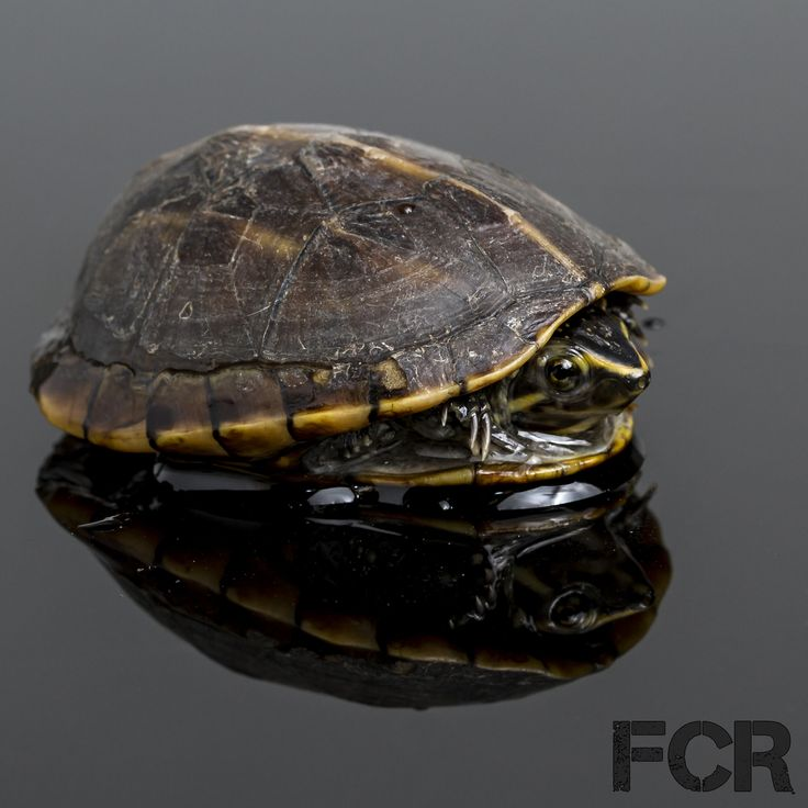 First Choice Reptiles - Three Striped Mud Turtle For Sale, $40.00