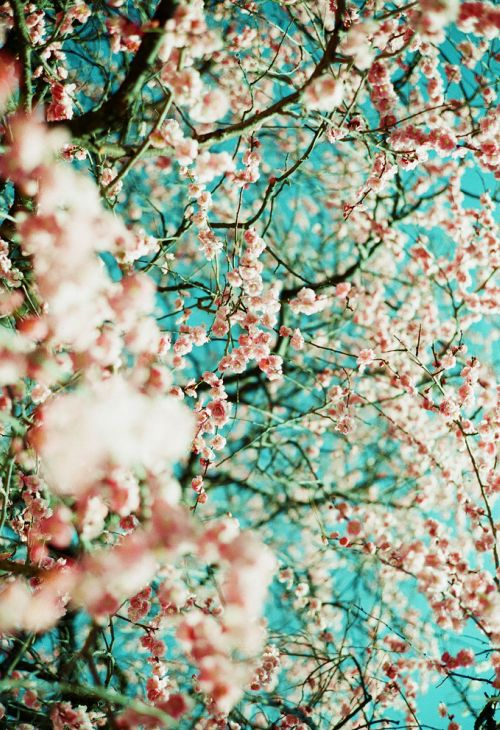 ahhh.....: Cherries Blossoms, Colors Combos, Blue Sky, Colors Schemes, Blossoms Trees, Flowers, Natural, Beautiful Things, Full Bloom