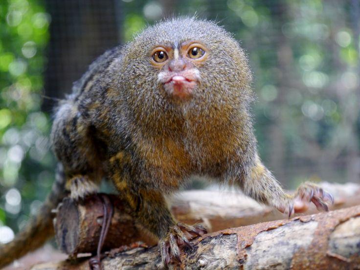 Este mono es lo más pequeño en el mundo.