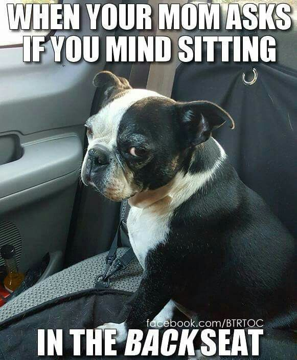 """""""No mom, no I DON'T mind sitting in the back seat!"""", Funny Frenchton, French Bulldog and Boston Terrier Mix"""