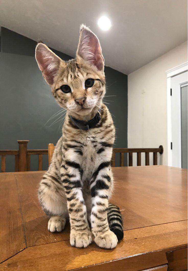 He's gotten a little bigger since we adopted him but here's my F2 Savannah Tarkin http://ift.tt/2rq22PB