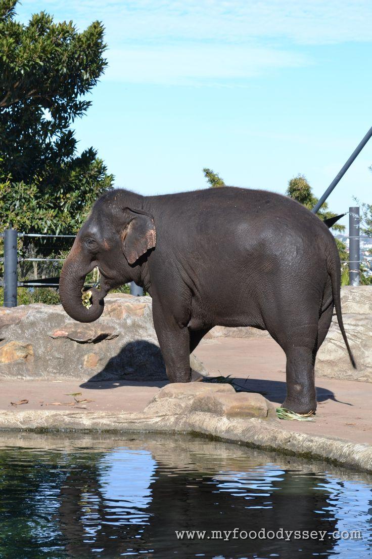 Elephant at Taronga Zoo, Sydney | www.myfoododyssey.com
