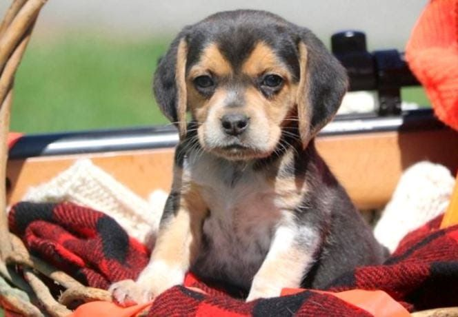 Beagle Puppies For Sale Puppy Adoption Keystone Puppies Not Many
