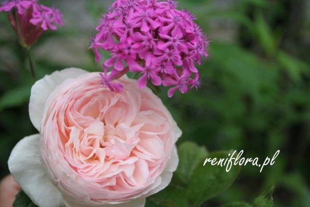 róża Heritage