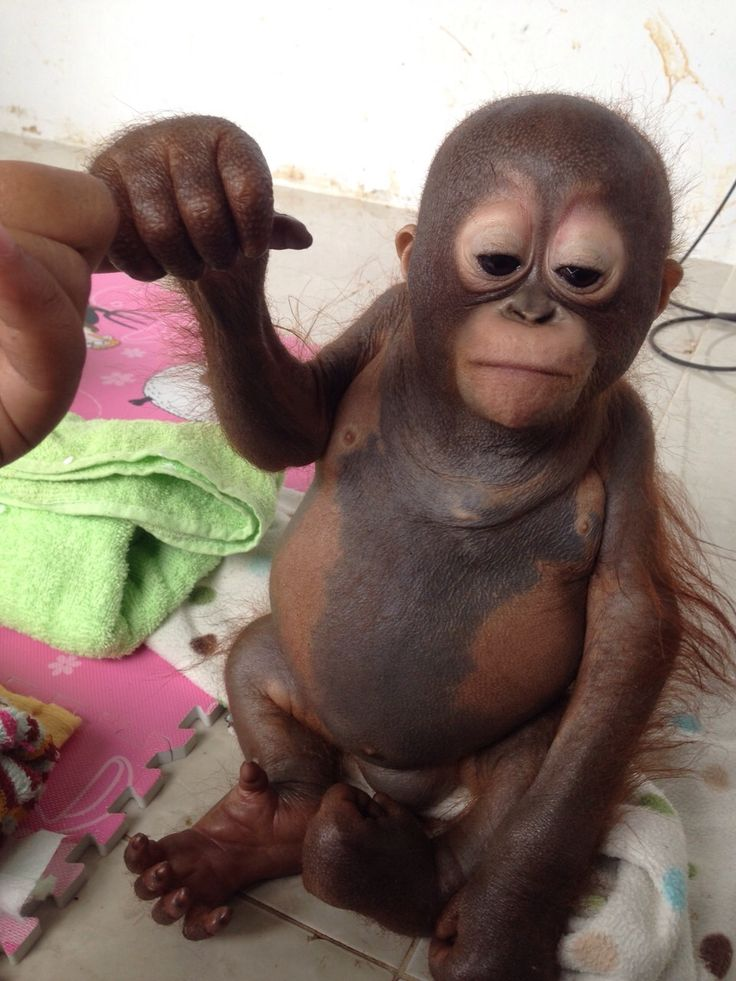 Картинки по запросу budi orangutan