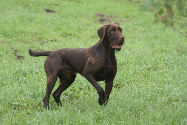 Best Gun Dog Training