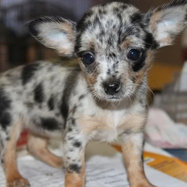 Blue Merle Chihuahua Chihuahuas Pinterest