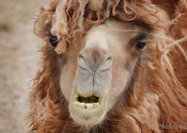 Funny Camel With Long Hair Style