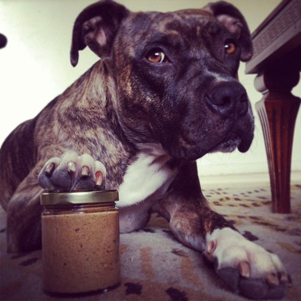 Boxer/Pit Mix...This looks so much like our Cookie Girl!