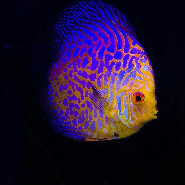 Beautiful Fish In 2020 Discus Fish Tropical Freshwater Fish Beautiful Fish